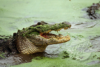 Alligator-Jaws1.jpg